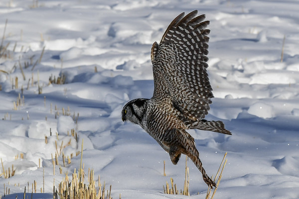 2-14-17 Northern Hawk Owl - Hunting