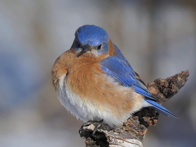 sx50_bluebird_boas_dpp_cr2_048.jpg