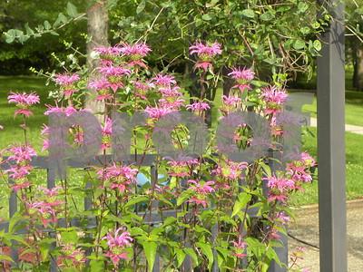monarda-fistulosa-great-native-plant-for-garden