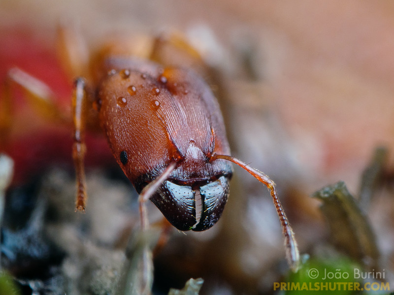 Big headed red ant soldier
