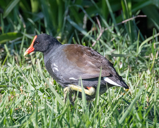 Common gallinule, Green Cay Wetlands