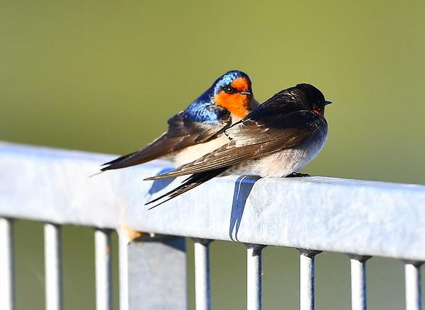 Birds On the Lyrup Ferry