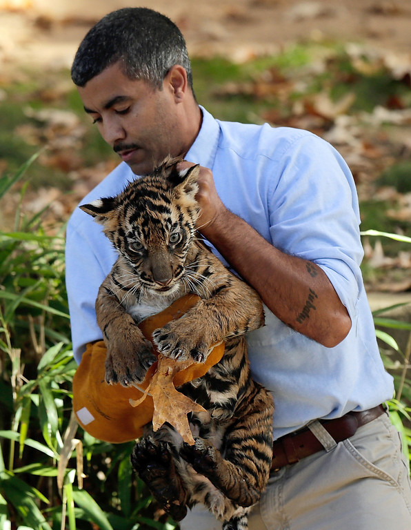 """. A male Sumatran Tiger cub named Bandar is carried by curator Craig Saffoe after the cub performed his \""""swim test\"""" in a moat of the Great Cats exhibit at the National Zoo November 6, 2013 in Washington, DC.   (Photo by Win McNamee/Getty Images)"""