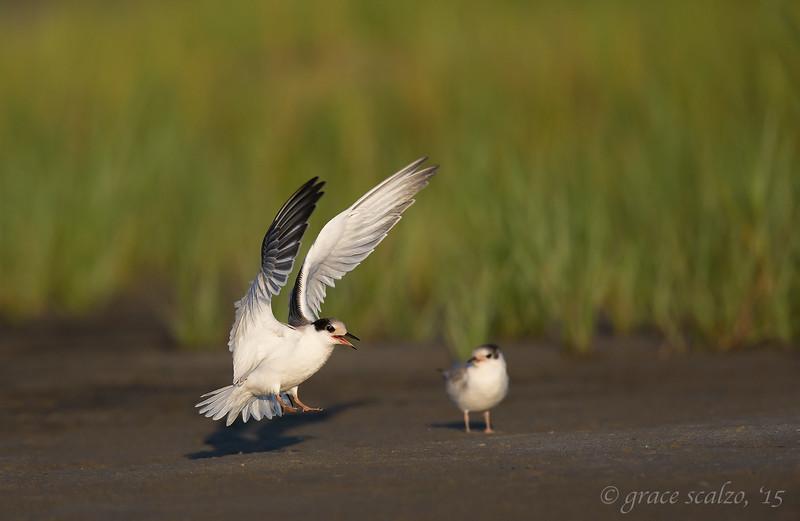 Common Tern Juvenile Landing