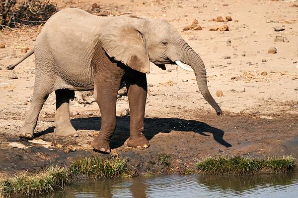 Elephants of all Ages Mashatu Botswana