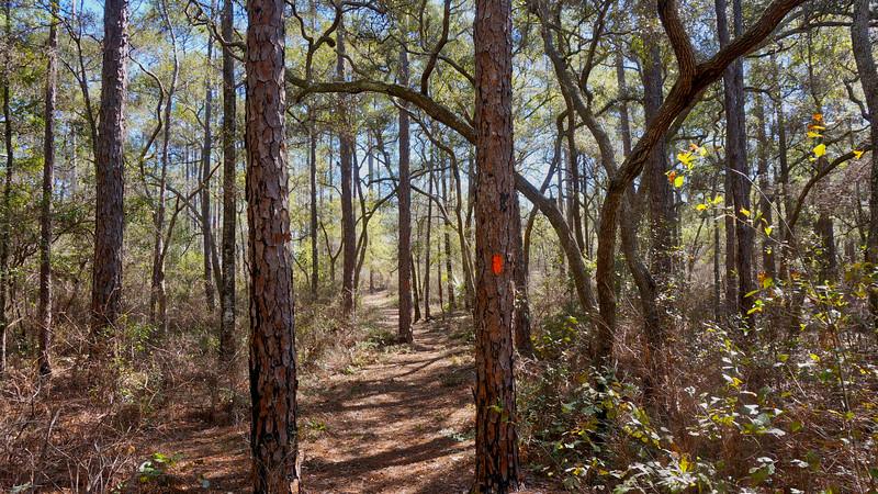 BIG BEND Panacea pines.jpg