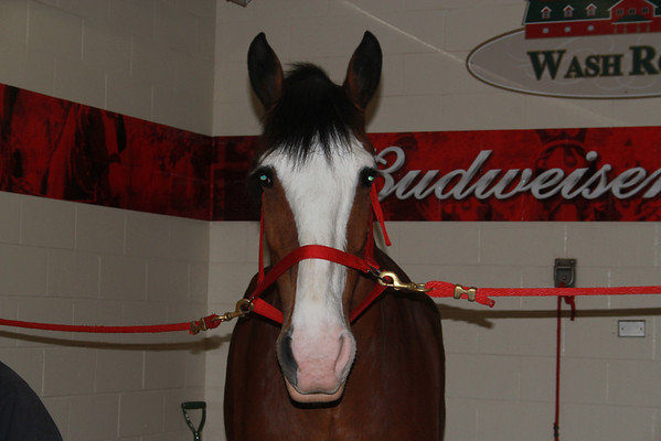 Clydsdales in MO 2013