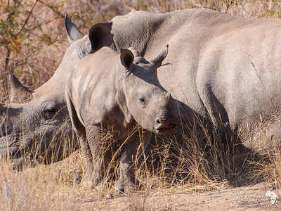 Young Rhino dwarfed by it's mother