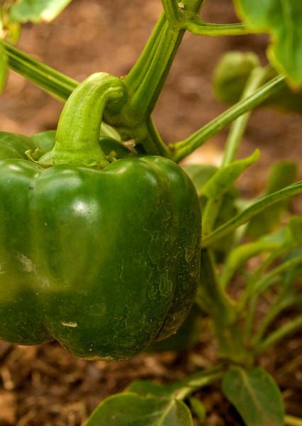 Pepper, Green Pepper