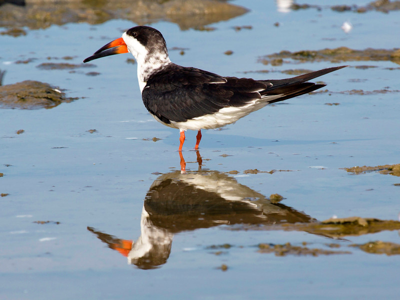 Black Skimmer reflecting