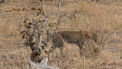 Hunting Leopards - Botswana