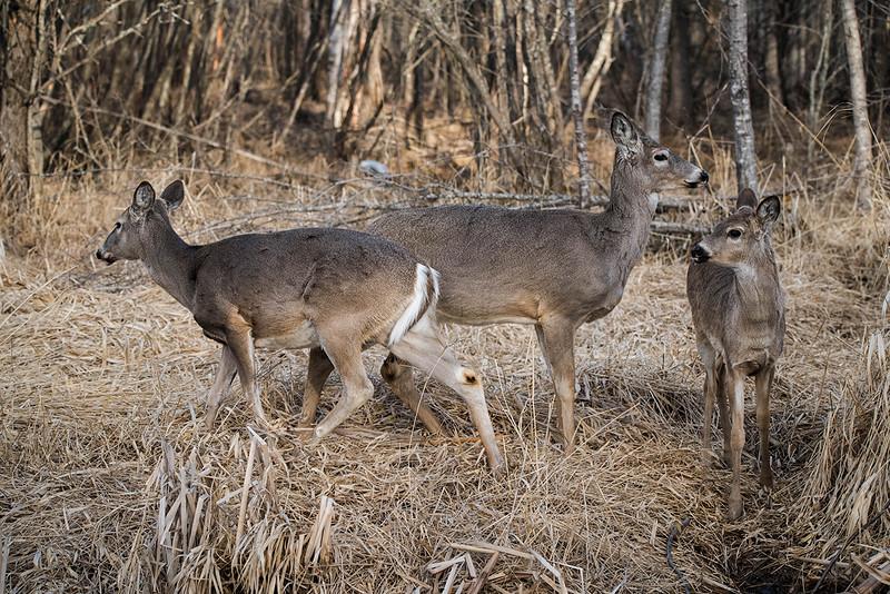 Deer reflection  April 2016 3.jpg