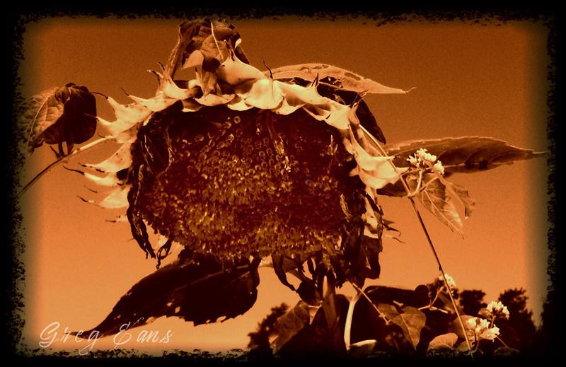 Sunflower, Owensboro, KY.