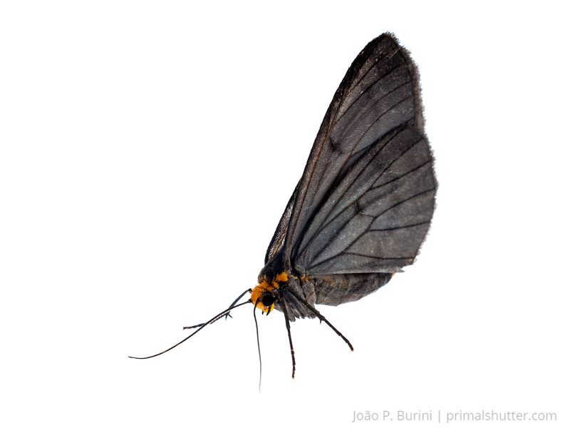 Erebid moth, probably the male of Wanderbiltia wanderbilti Atlantic forest (rock outcrop vegetation) Itatiaia National Park, Itamonte MG, Brazil March 2018