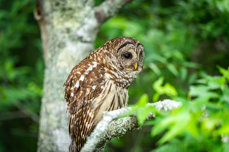 Barred Owl Looking for Prey