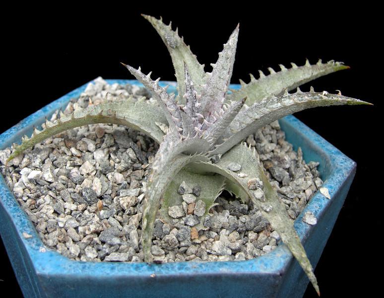 Dyckia marnier-lapostollei v estevesii x (fosteriana x platyphylla)BS.jpg