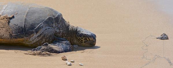 Maui Turtle