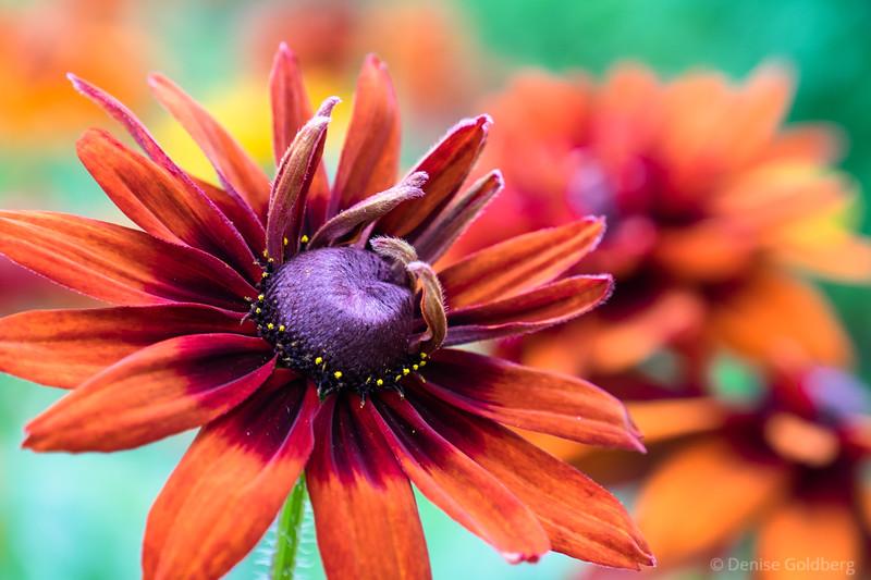 gloriosa daisy
