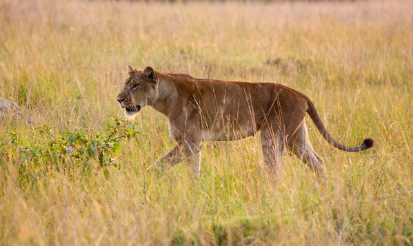 Lioness on the morning prowl. Queen Elizabeth National Park, Uganda.
