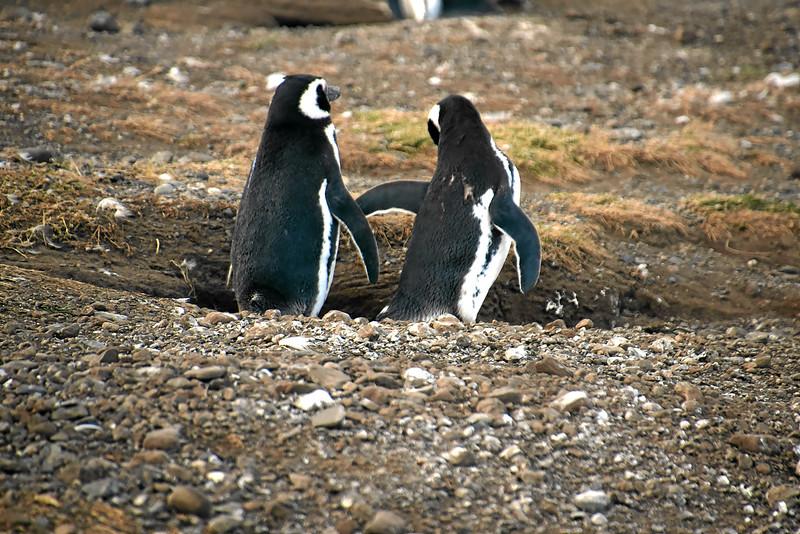 Penguin_Colony_064.jpg