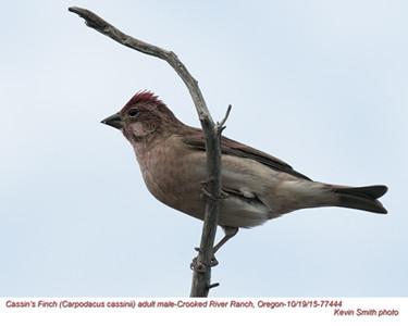 Cassin's Finch M77444.jpg