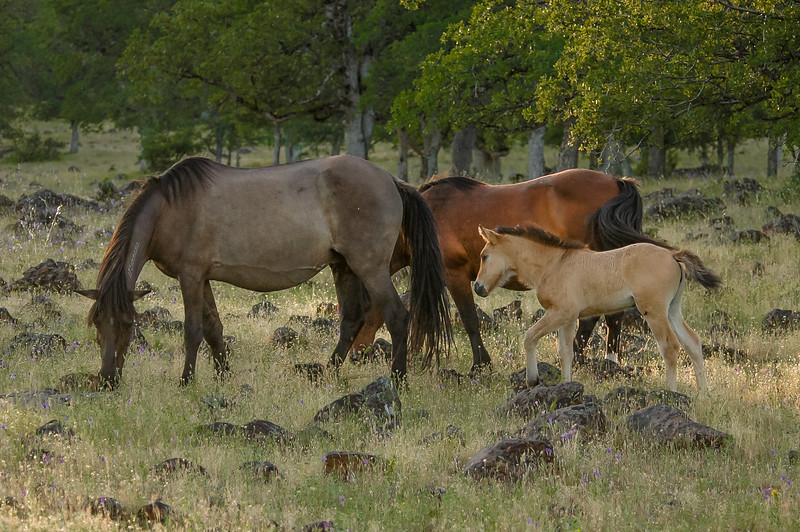 Tan Wild Horse Foal Following Mother #1