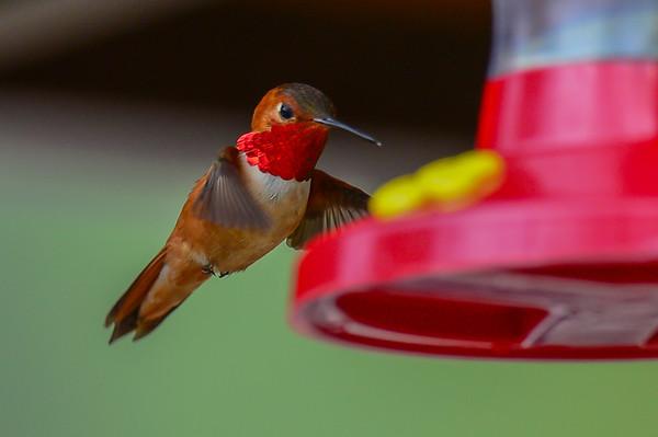 6 2013 Jun 11 Rufous Hummingbird*