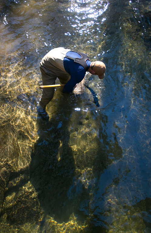 . Joe Kiernan, a resource ecologist with the National Marine Fisheries Service, releases an adult coho salmon into San Vicente Creek in Santa Cruz County on Jan 16, 2013. The agency is working to restore endangered coho populations on the Central Coast. (John Green/Staff)