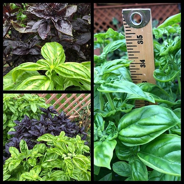 Cooler temps mean #fall is around the corner and the end of our #basil season approaches. Turns out the secret to robust basil bushes and overflowing pesto is to cut/trim them often. At nearly 3', these are the largest bushes we've ever had! #pesto #pesto