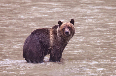 Grizzlies & Wildlife of Bute Inlet BC