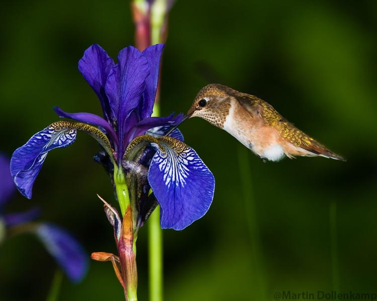 Juvenile Rufous Hummingbird feeding on Blue Iris. Rufous Hummingbird Selasphorus rufous