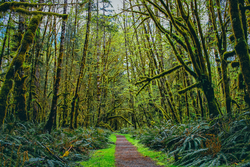Hiking trail in the Quinault rain forest of Washington.