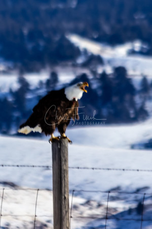 Bald Eagles in the Grand Tetons Wyoming