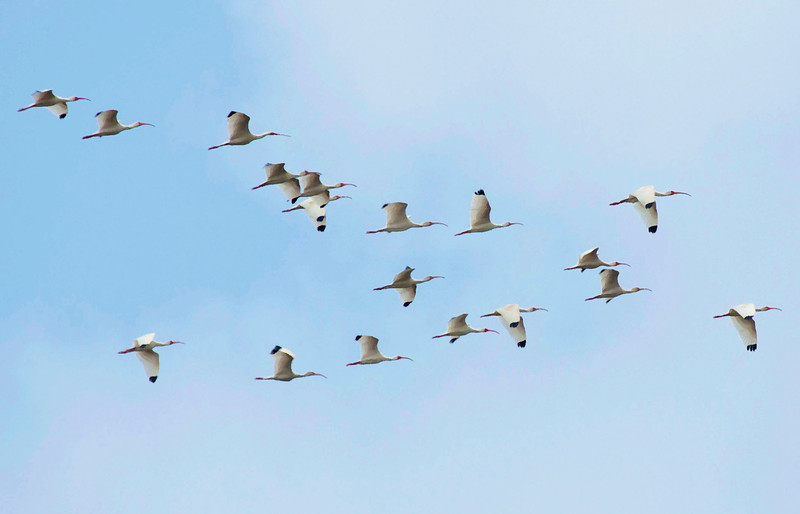 A flight of white ibis.