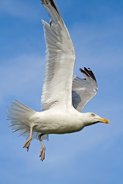 Seagull flying through the air with wings spread out. Photography fine art photo prints print photos photograph photographs image images artwork.