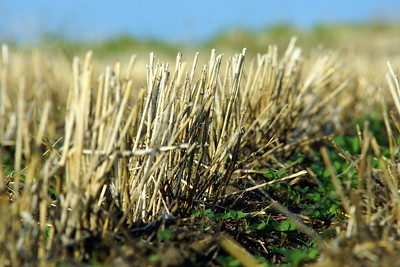 Weeds in stubble