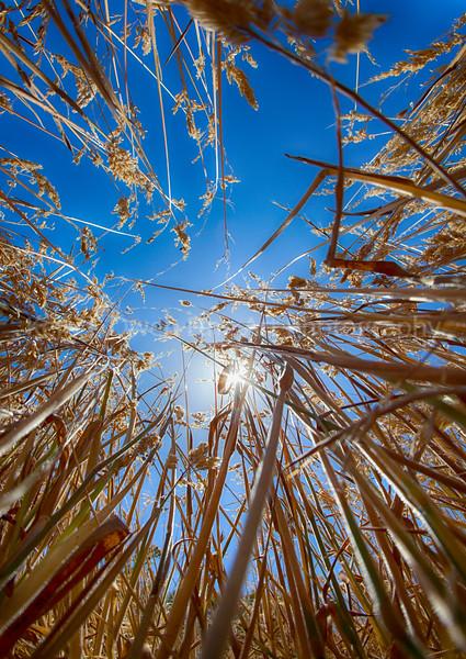 California Grass