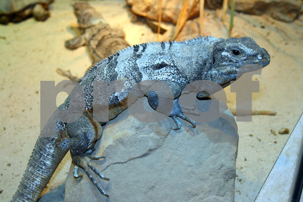 Wildlife; Lizard,Lizard: Pack 7