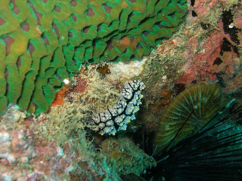 Phyllidia elegans Nudibranch taken whilst Diving near Kho Tao, Thailand