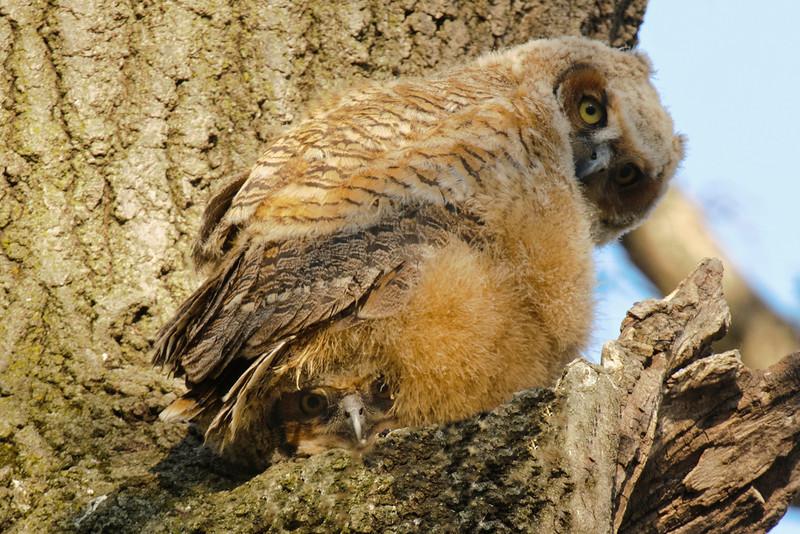 Owl - Great Horned - juvenile - Silverwood Park - New Brighton, MN - 06