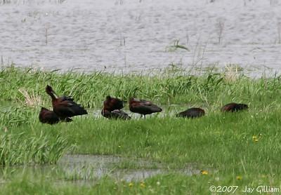 Scissor-tailed Flycatcher & Glossy Ibis