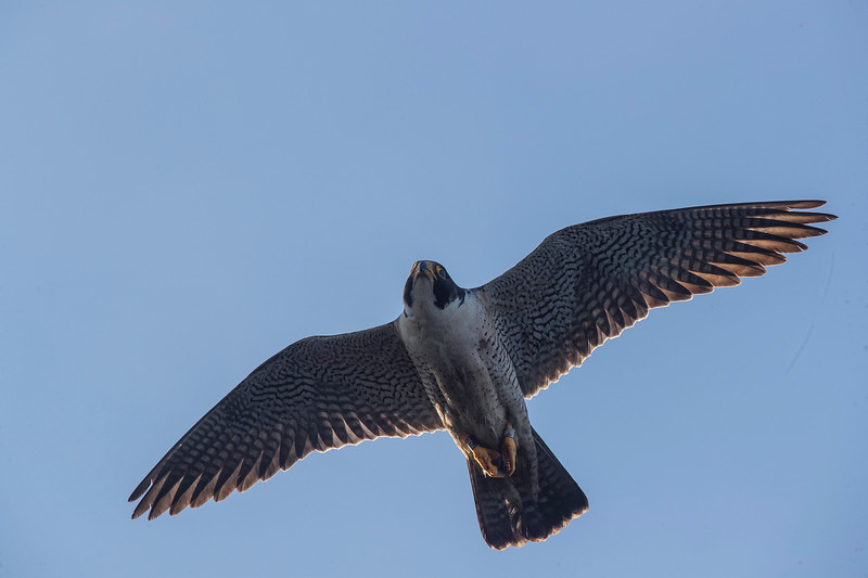 falcon8.jpg