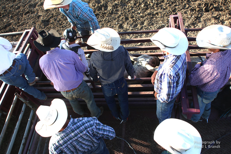 Havre Daily News / Floyd Brandt  Six white Hats and one black hat in the bull shuts helping the rider get on the bull at the Great Northern Fair in Hill County Friday
