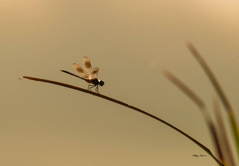 Dragonfly 2 backlit_DWL3698.jpg