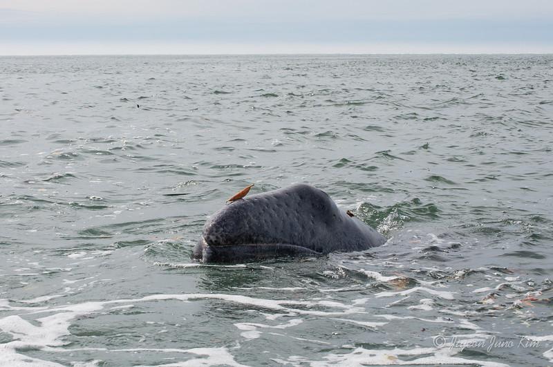Mexico-Loreto-Whale-2106.jpg