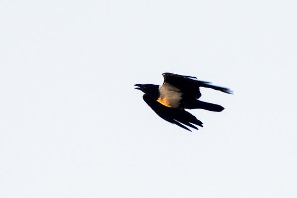 Family: Corvidae (crows and ravens)