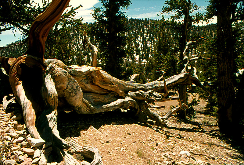 1405 Ancient Bcone Pine Forest California 1974.jpg