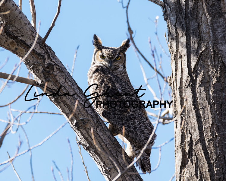 Cottonwood Great Horned Owl