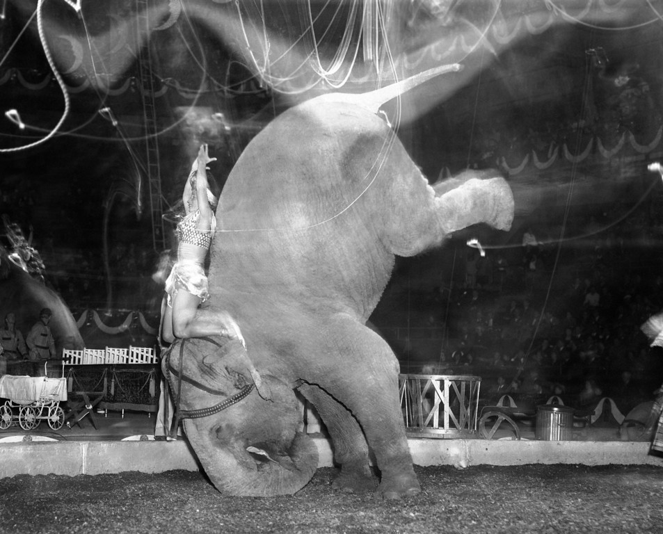 . �Skee Otaris� hands are over her head as her pachyderm does a headstand during performance of Ringling Brothers and Barnum and Bailey Circus in Madison Square Garden in New York on April 9, 1949. (AP Photo/Matty Zimmerman)