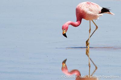 Andean Flamingo, Parina Grande (Phoenicoparrus andinus)